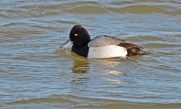 Lesser Scaup - Irondequoit Bay Outlet - © Dick Horsey - Dec 23, 2016